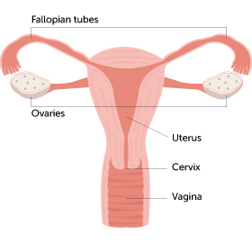 Inside the female reproductive organs