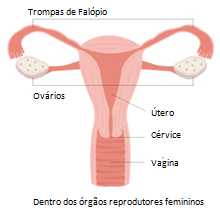 female reproductive system_portuguese